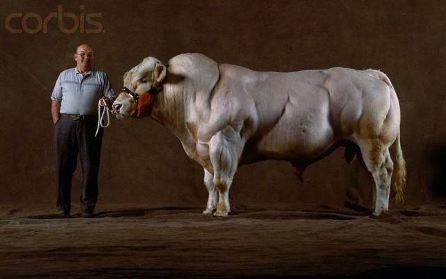 A Belgian Blue bull